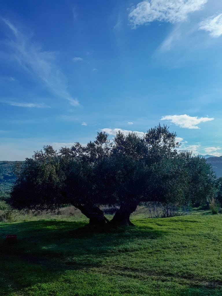 Holiday villas, sun and olives in Crete. Big olive tree