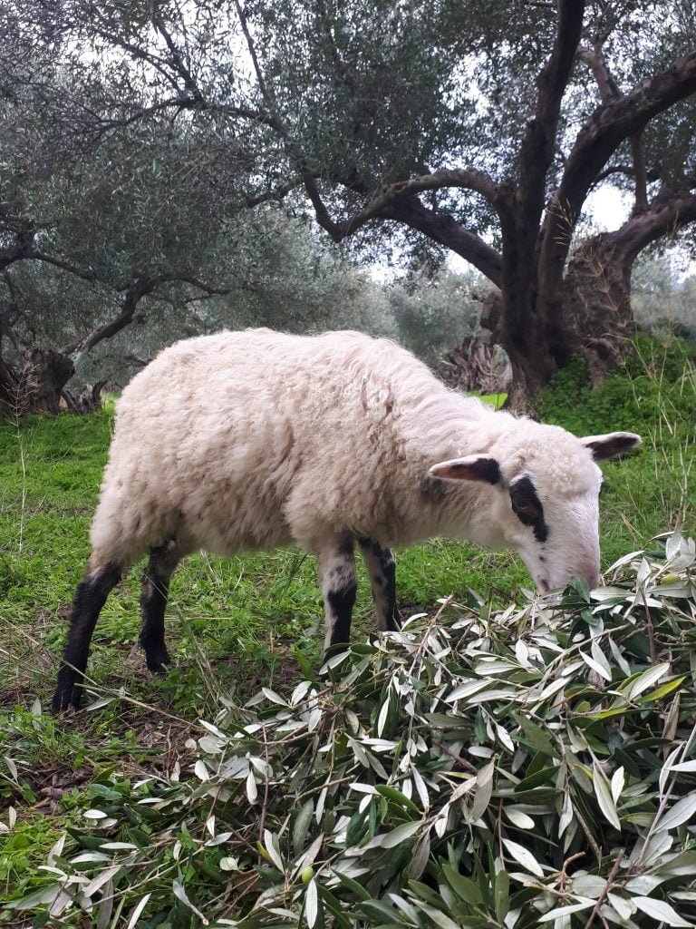 Holiday villas, sun and olives in Crete. Sheep love to eat olives and the leaves of the olives