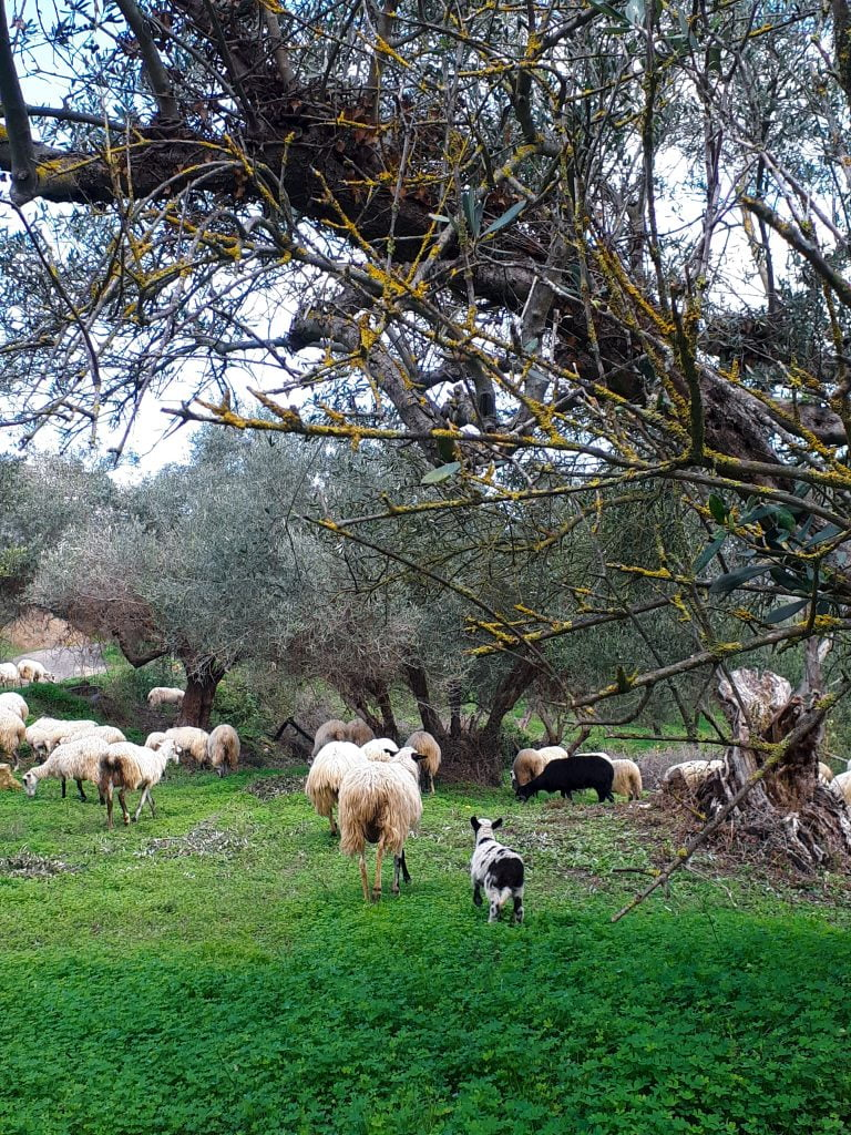 Holiday villas, sun and olives in Crete. A flock of sheeps looking for food
