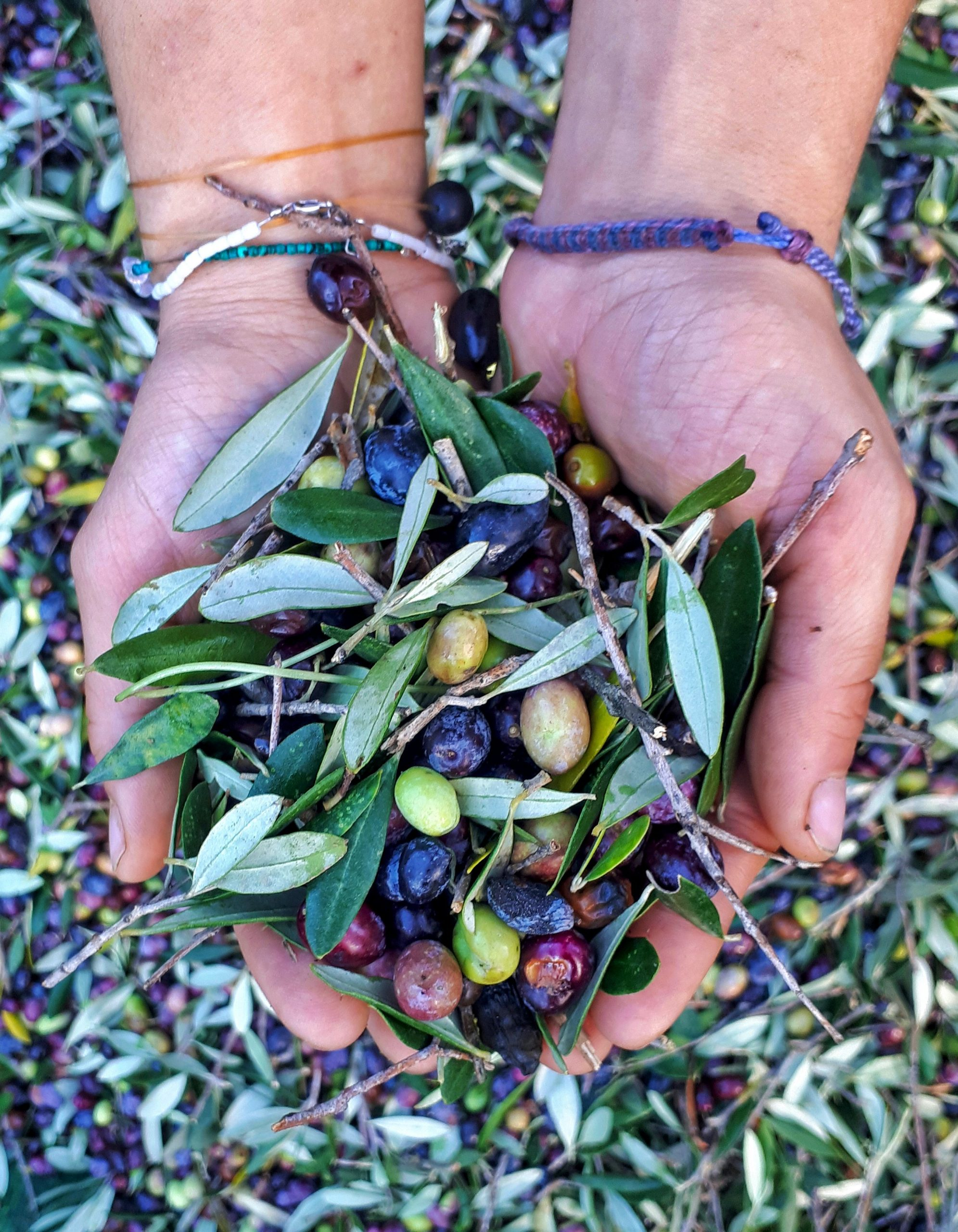 Holiday villas, sun and olives in Crete. Holding olives between the hands.
