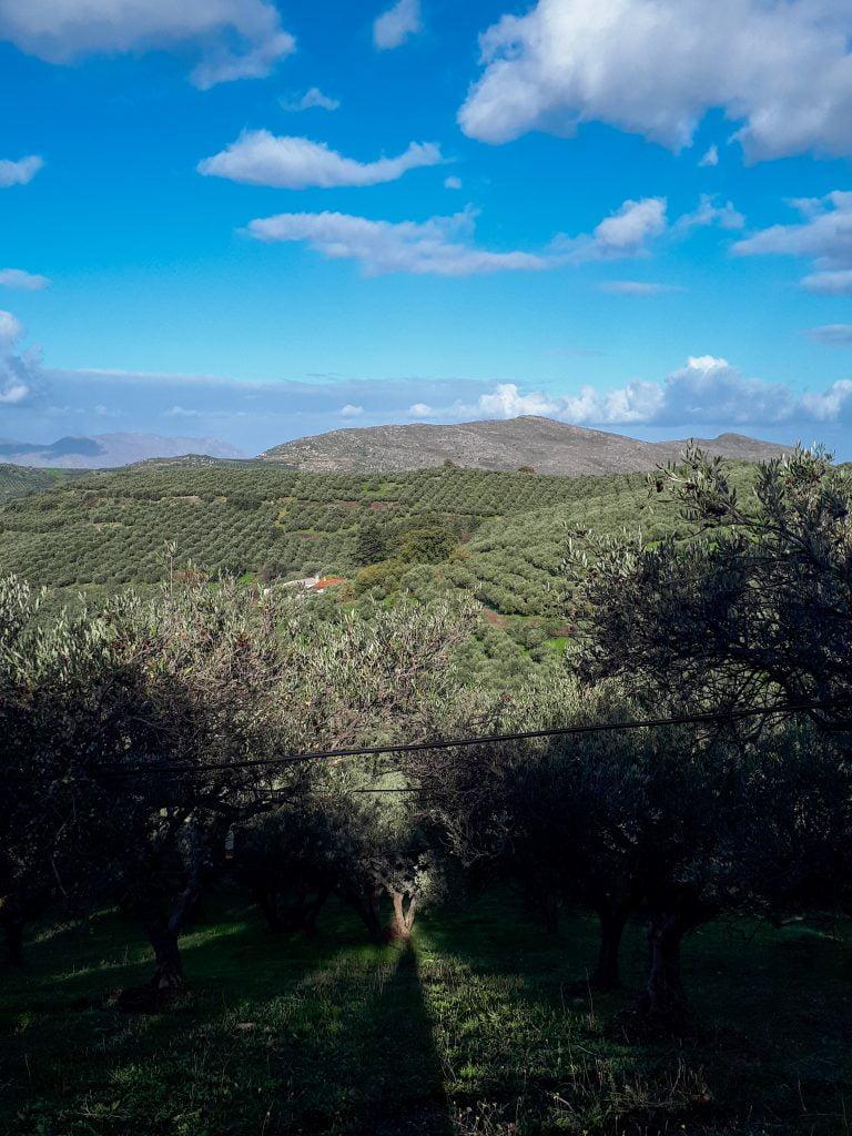 Holiday villas, sun and olives in Crete. Fields and fields of olive trees.