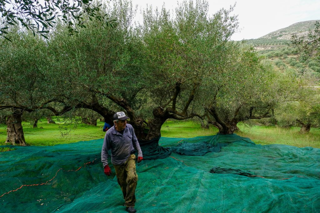 Holiday villas, sun and olives in Crete. Getting the area ready to harvest the olives