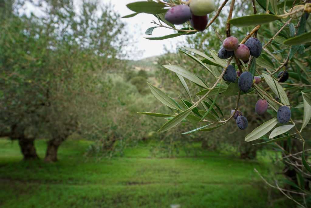Holiday villas, sun and olives in Crete. Olive fields in the mountains.